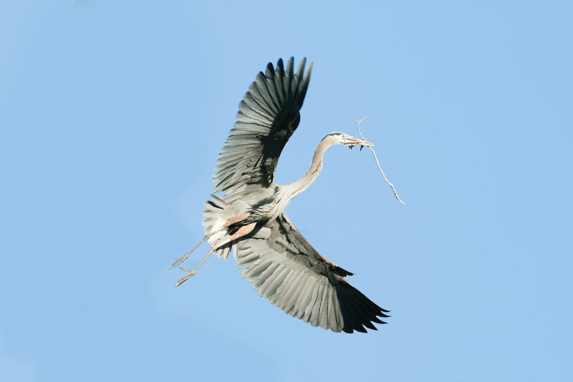 Free stock photo of feathers, great blue heron in flight, nest building