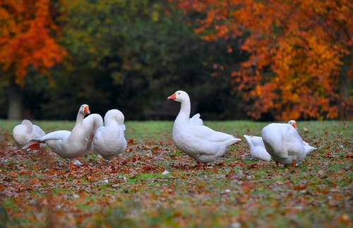 Základová fotografie zdarma na téma bílá, hnědá, husa, podzim