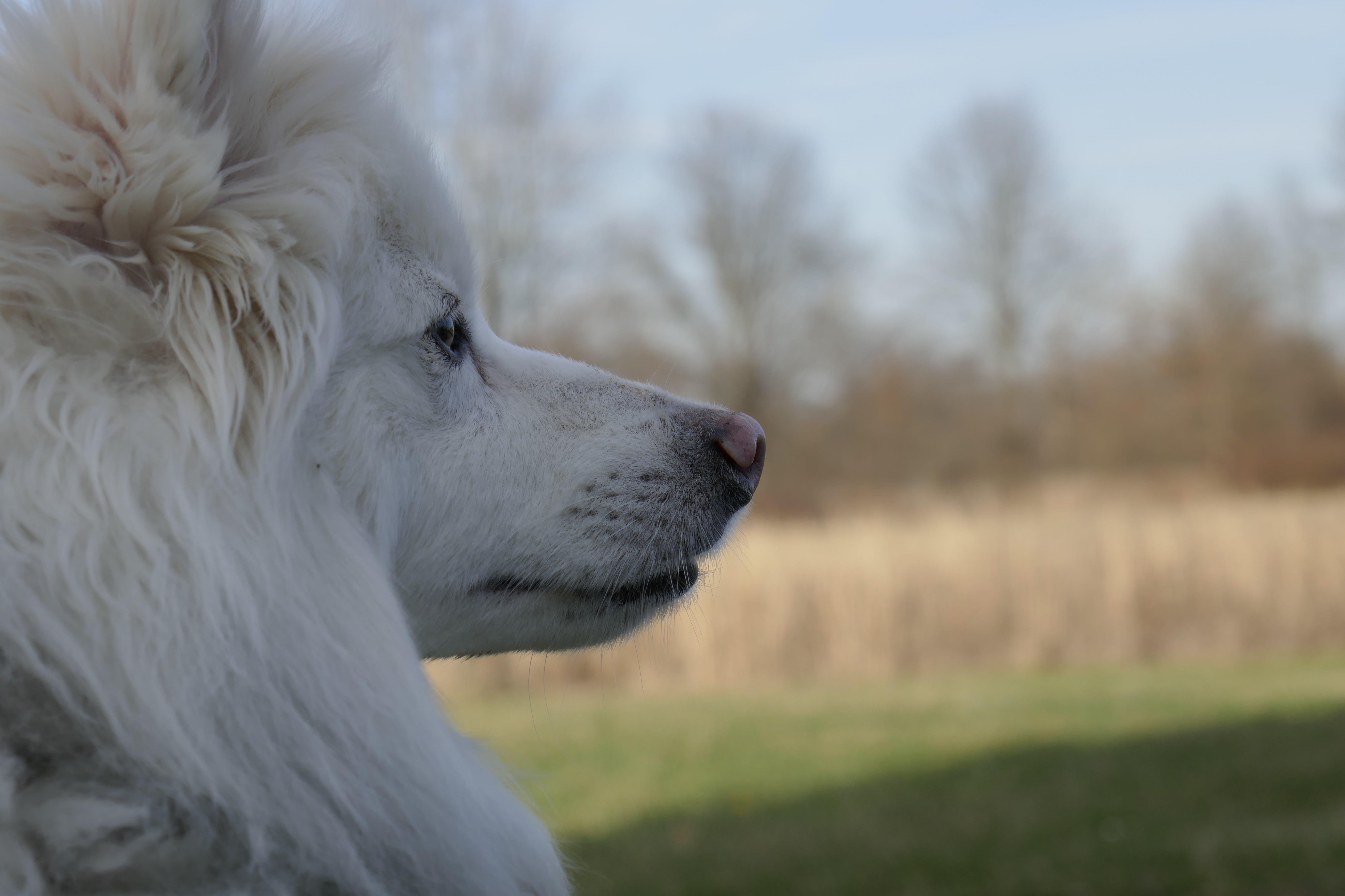 Kostenloses Stock Foto zu american eskimo, eskie, hund