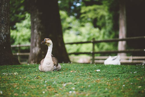 White and brown goose sitting on the grass