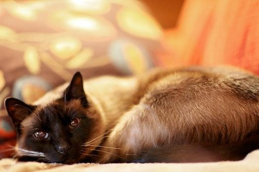 Free stock photo of kitten, cat, siamese