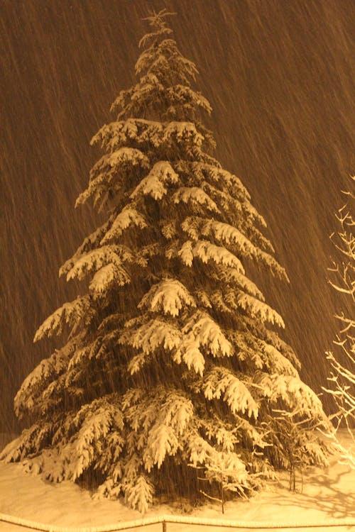 Безкоштовне стокове фото на тему «mehran b, сніг, сосна»