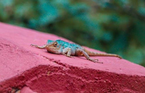 Foto d'estoc gratuïta de fotografia d'animals, llangardaix