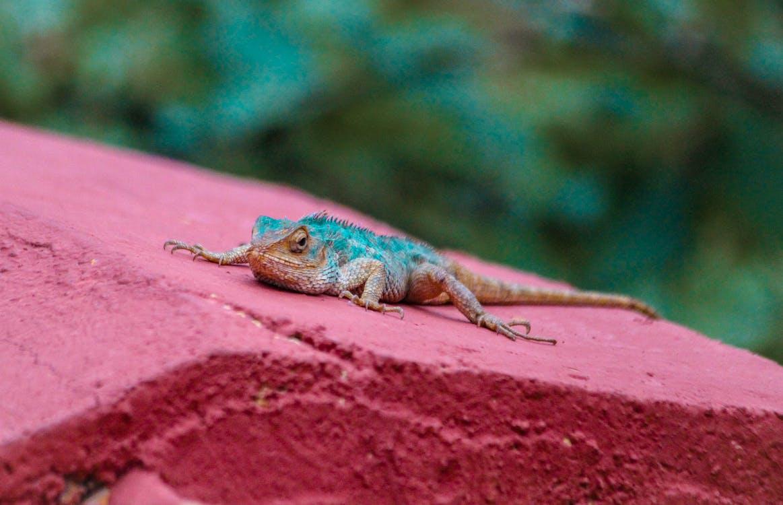 fotografía de animales, lagartija, naturaleza