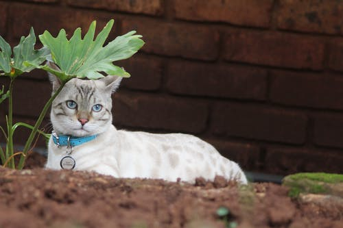 Free stock photo of animal, bengal, Bengal cat, blue eyes