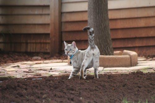 Free stock photo of bengal, Bengal cat, cat, pet