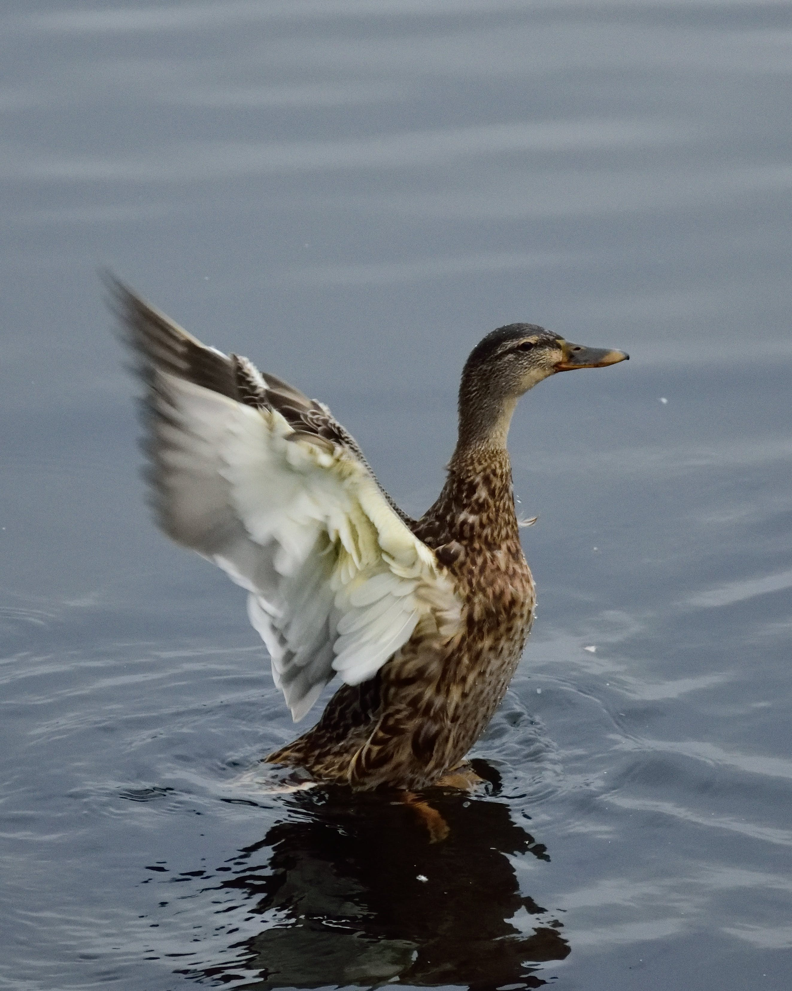 Free stock photo of bird, duck, female, lake