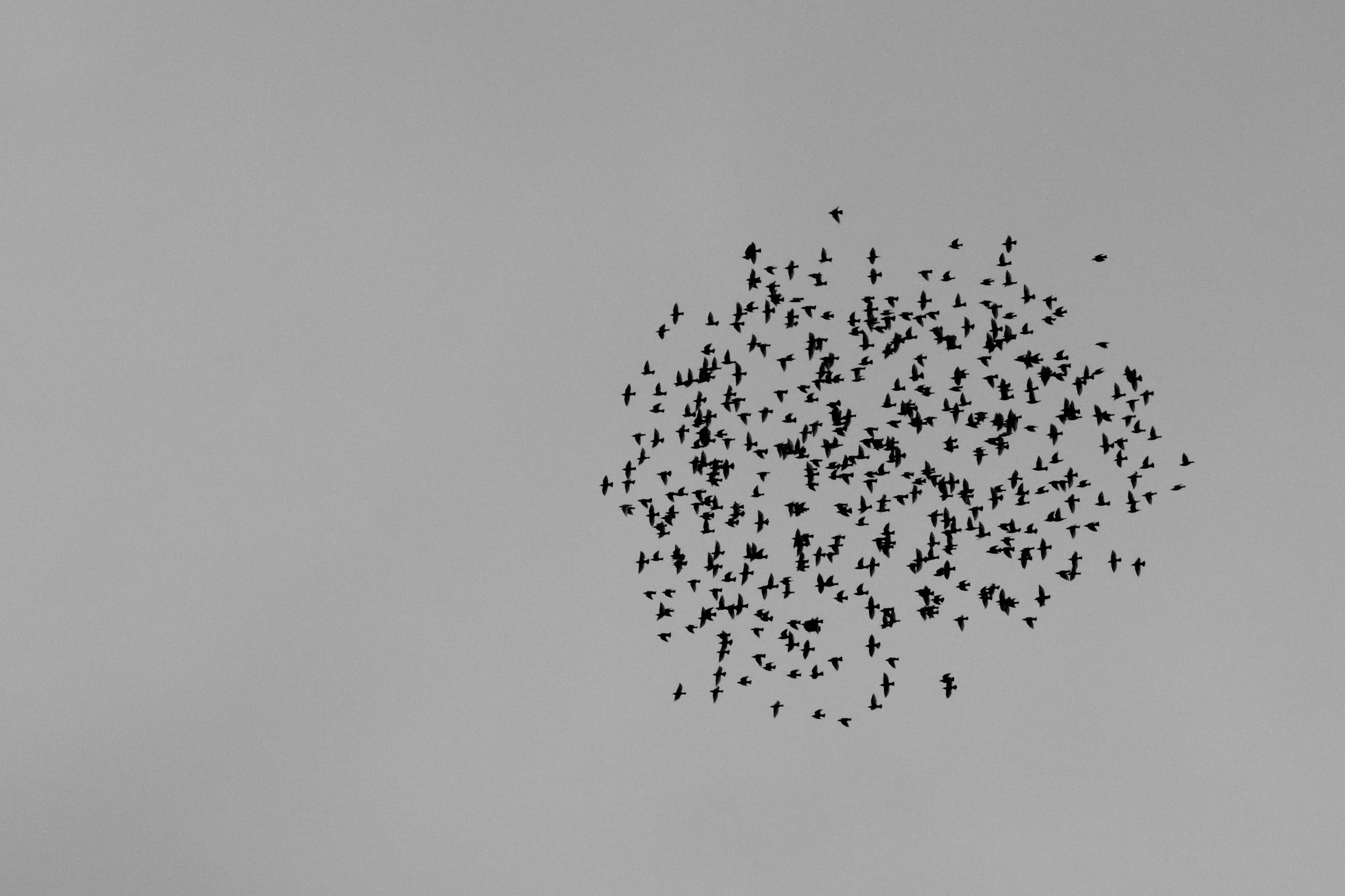 Free stock photo of birds, black and white, flock, flying