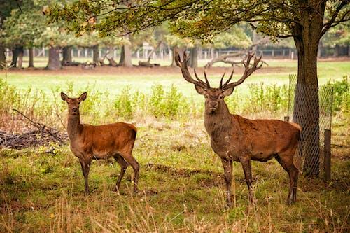 Základová fotografie zdarma na téma jelen, srnčí, zvíře, zvířecí park