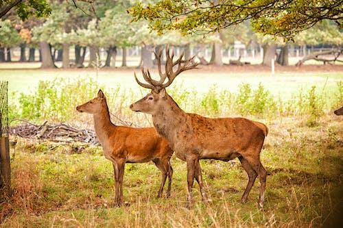 คลังภาพถ่ายฟรี ของ กวาง, กวางโรเดียร์, สวนสัตว์, สัตว์