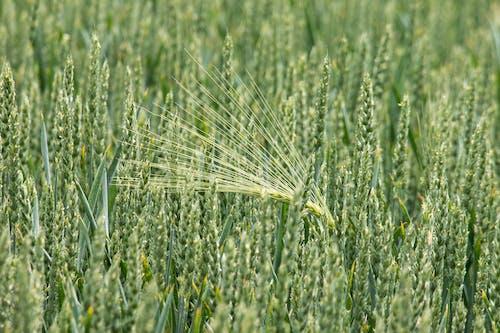 Darmowe zdjęcie z galerii z gospodarstwo, makro, pole, pszenica