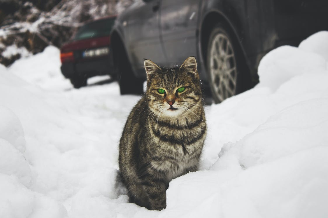 Cat on Snow
