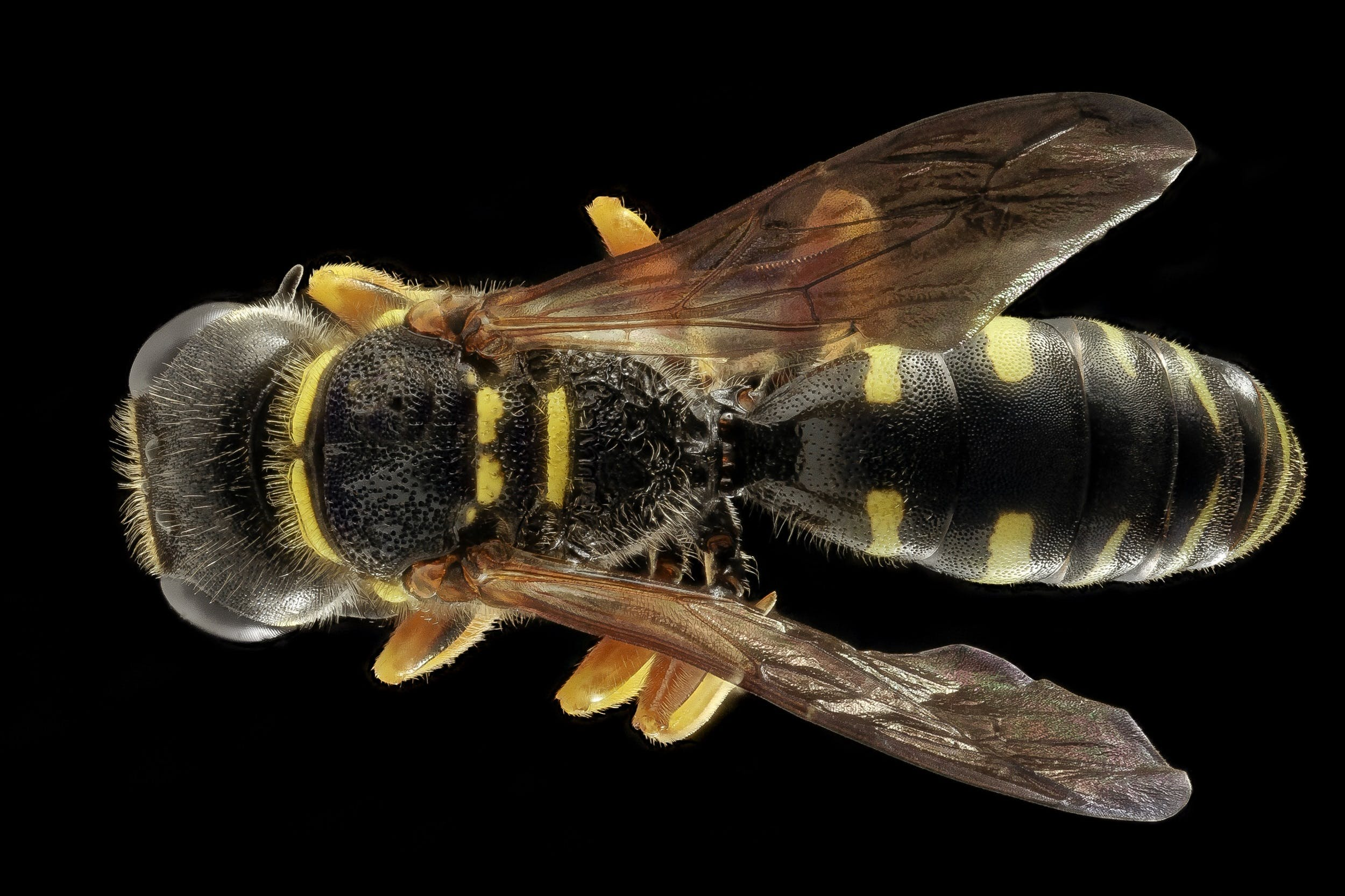 Black and Yellow Wasp