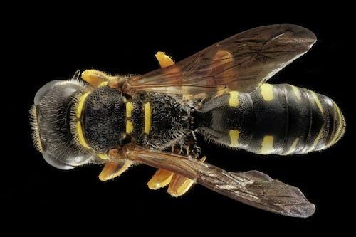 Imagine de stoc gratuită din albină, aripă, fotografie de aproape, insectă
