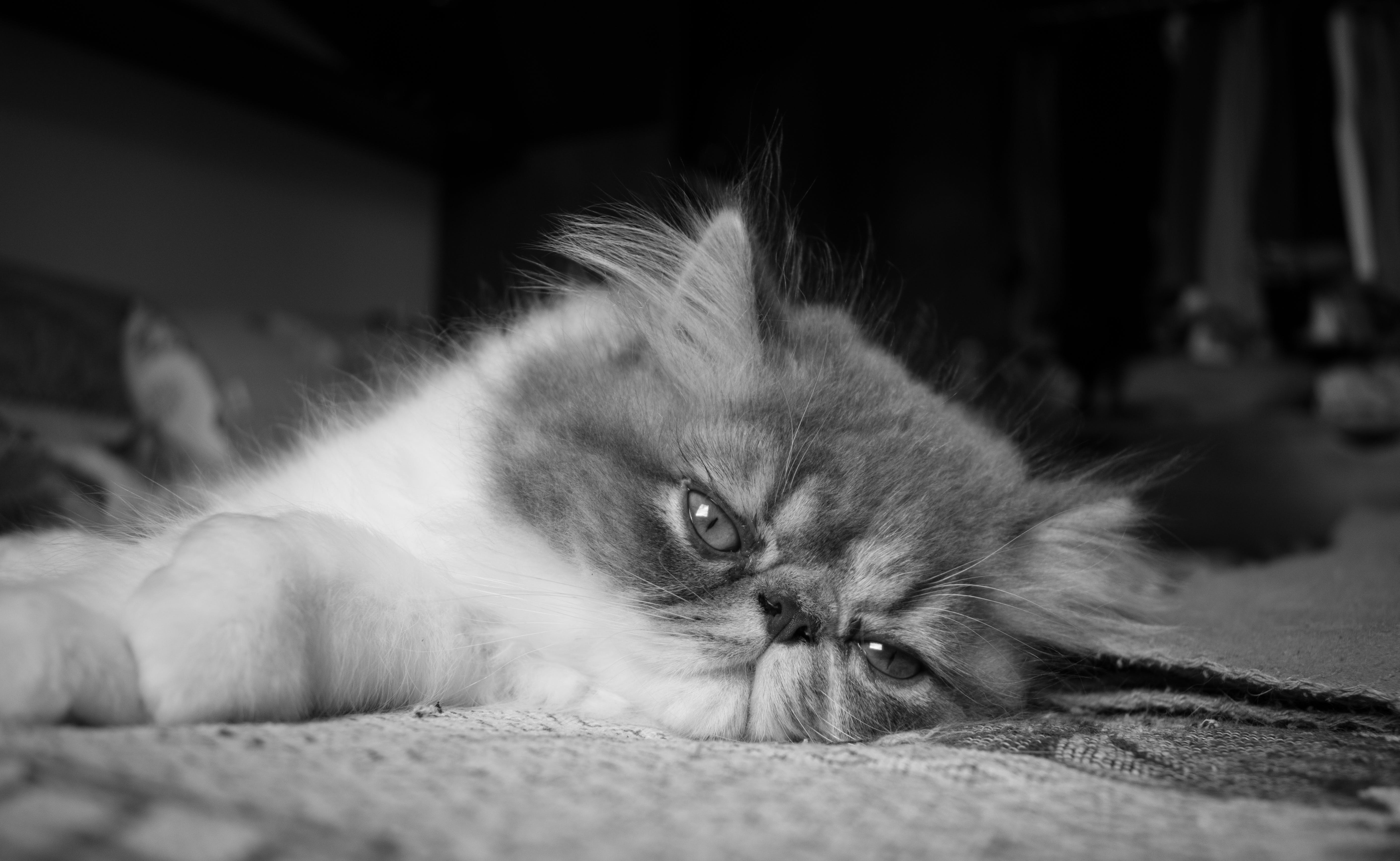 Free stock photo of black and white, cat, cat face, cute