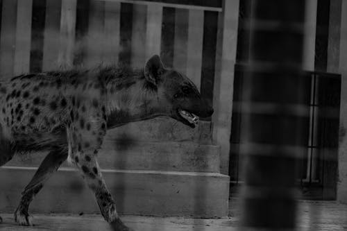 Free stock photo of 50mm, animal, black and white, hyena