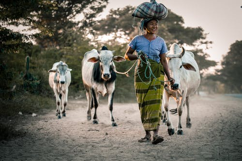 Woman Holding Cows With Rope On The Road