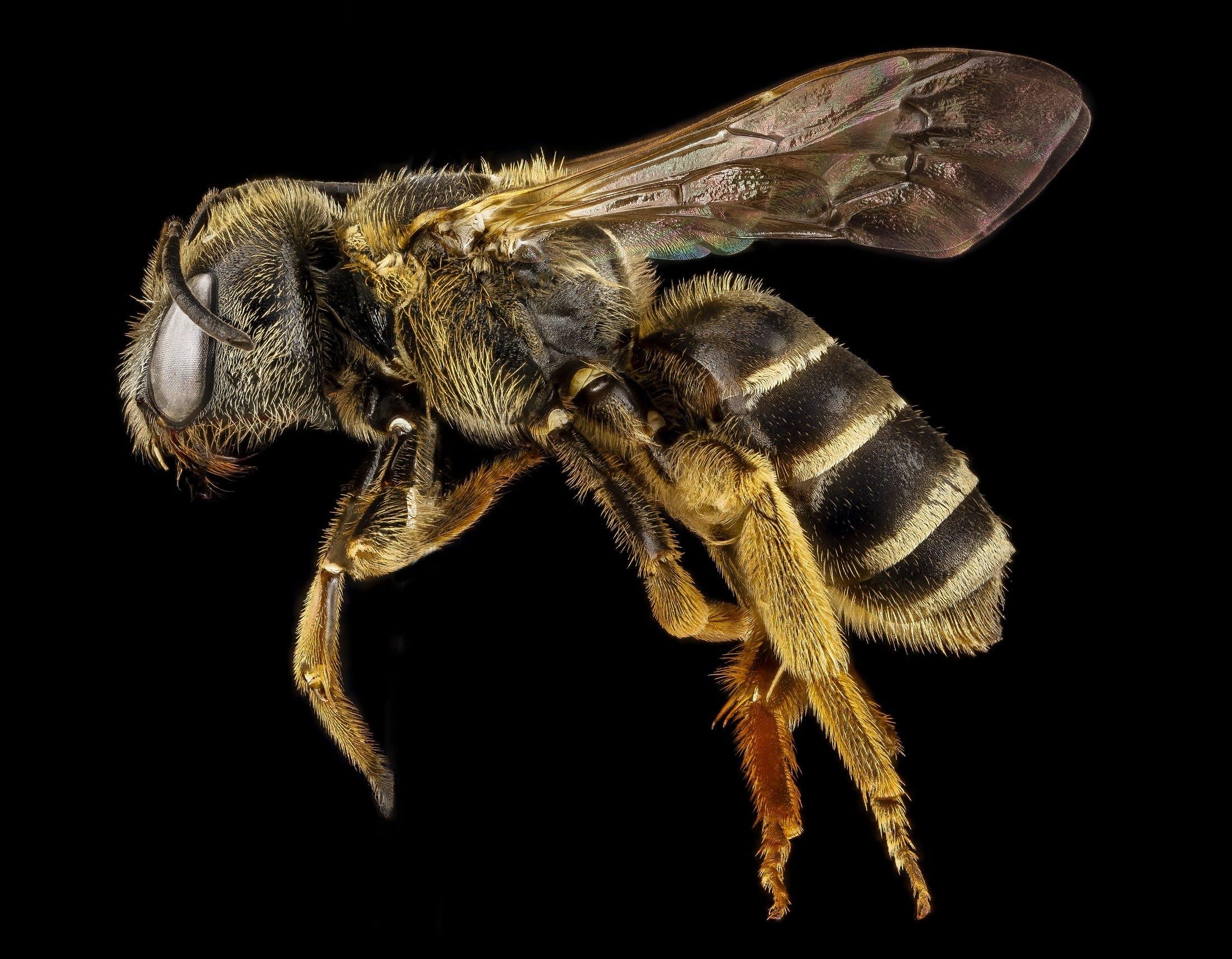 Yellow Bee Macro Photography