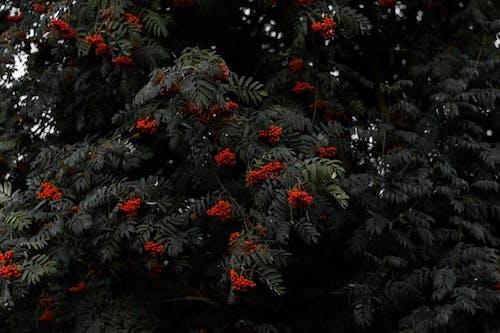 rowanberry, 健康, 植物, 樹 的 免费素材照片