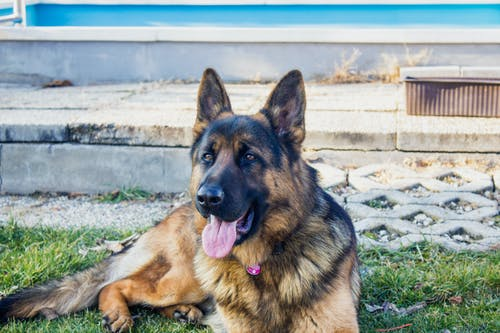 German Shepherded Leaning on Grass
