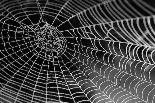Foto d'estoc gratuïta de aranya, blanc i negre, primer pla, teranyina