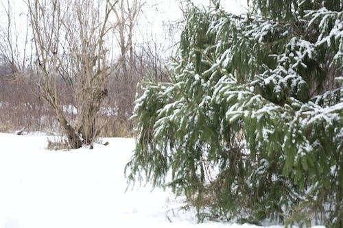 Gratis lagerfoto af baggrund, fyrretræ, sne, sneklædt