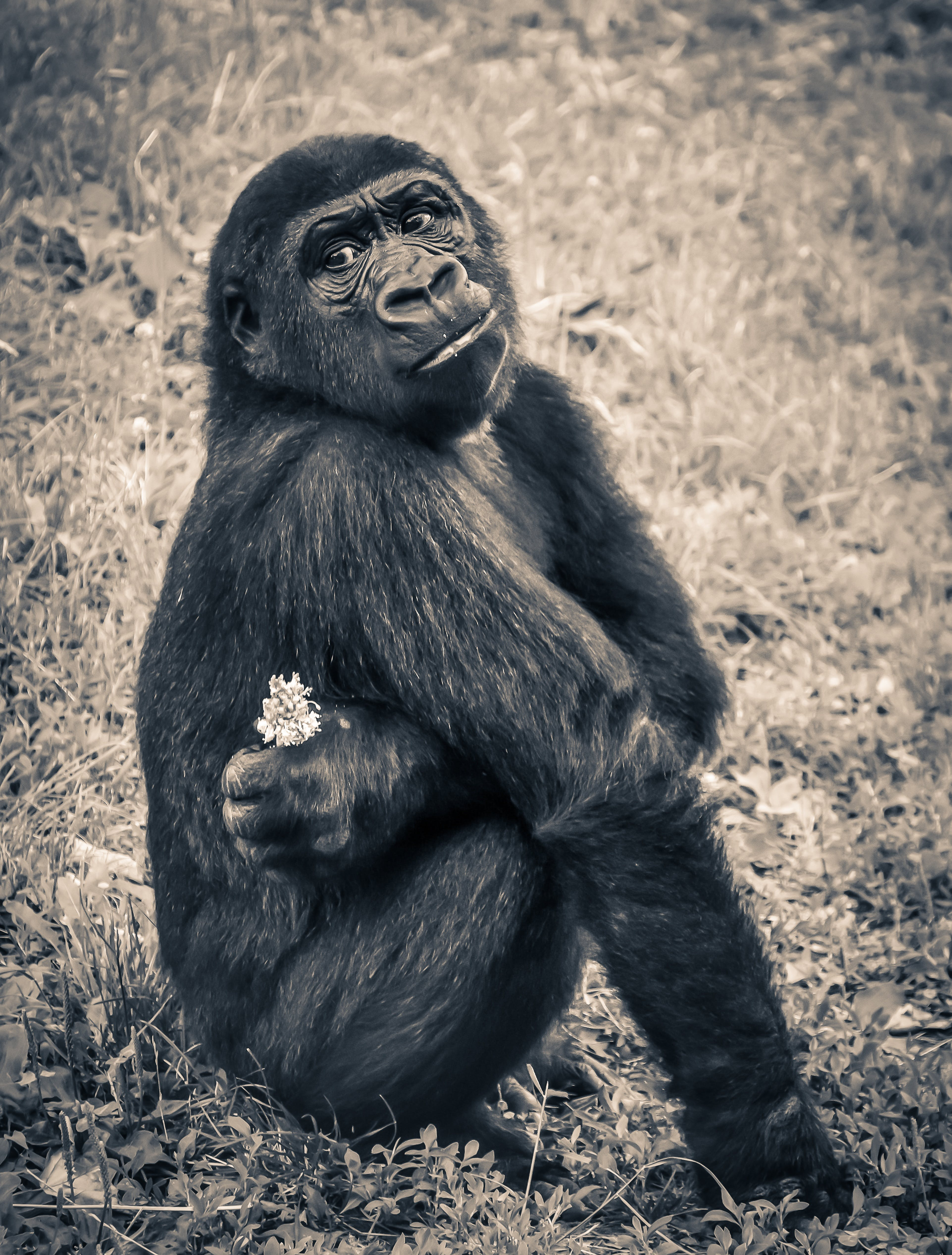 Monkey Holding White Petal Flower Sitting on Grassy Field in Sepia Tone Photography