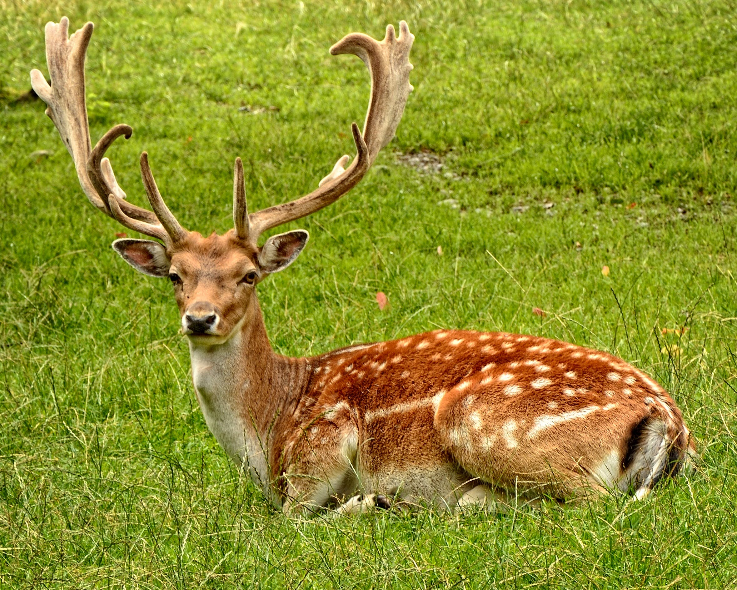 Brown Deer Laying on Grass Field