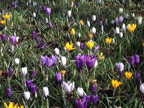 白色, 紫羅蘭, 綠色, 野花 的 免费素材照片