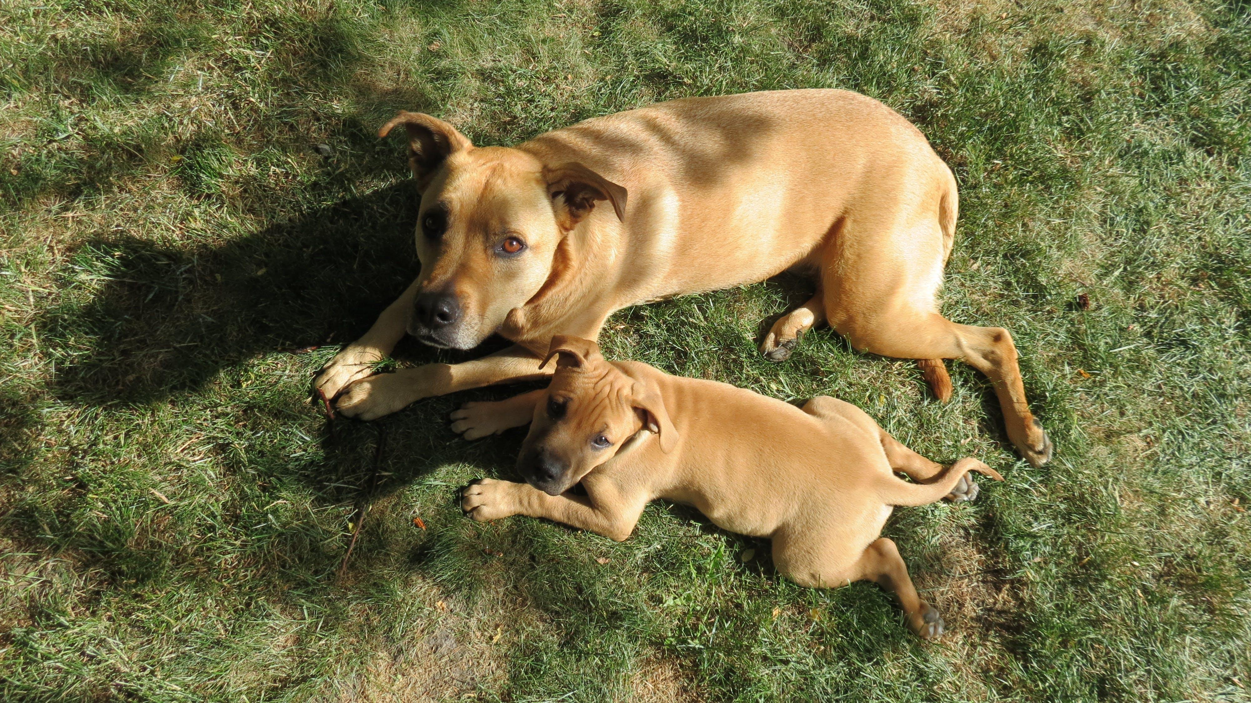 Free stock photo of big dog, grass, little dog, pets