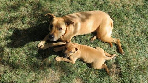 夏天, 大只的狗, 寵物, 草 的 免费素材照片