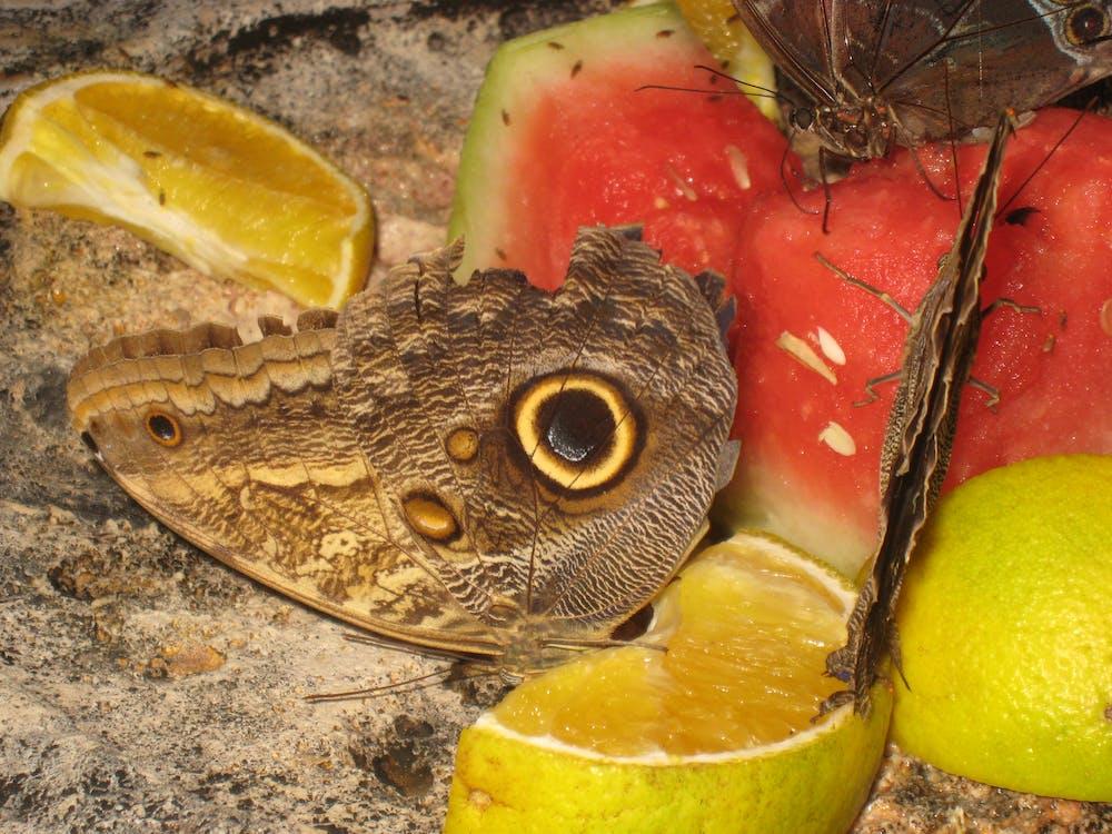 Con bướm, ngụy trang, trái cây