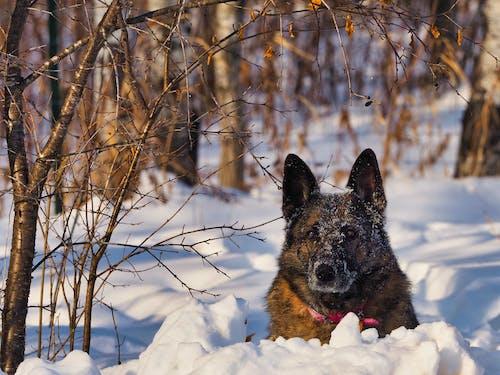 Ilmainen kuvapankkikuva tunnisteilla lumi, Saksanpaimenkoira