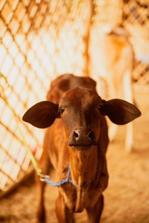 Gratis lagerfoto af kalv, køer, kostald, mejeriprodukter