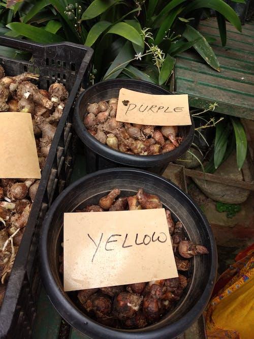 Fotos de stock gratuitas de bombillas, bulbos de flores, flores, plantas