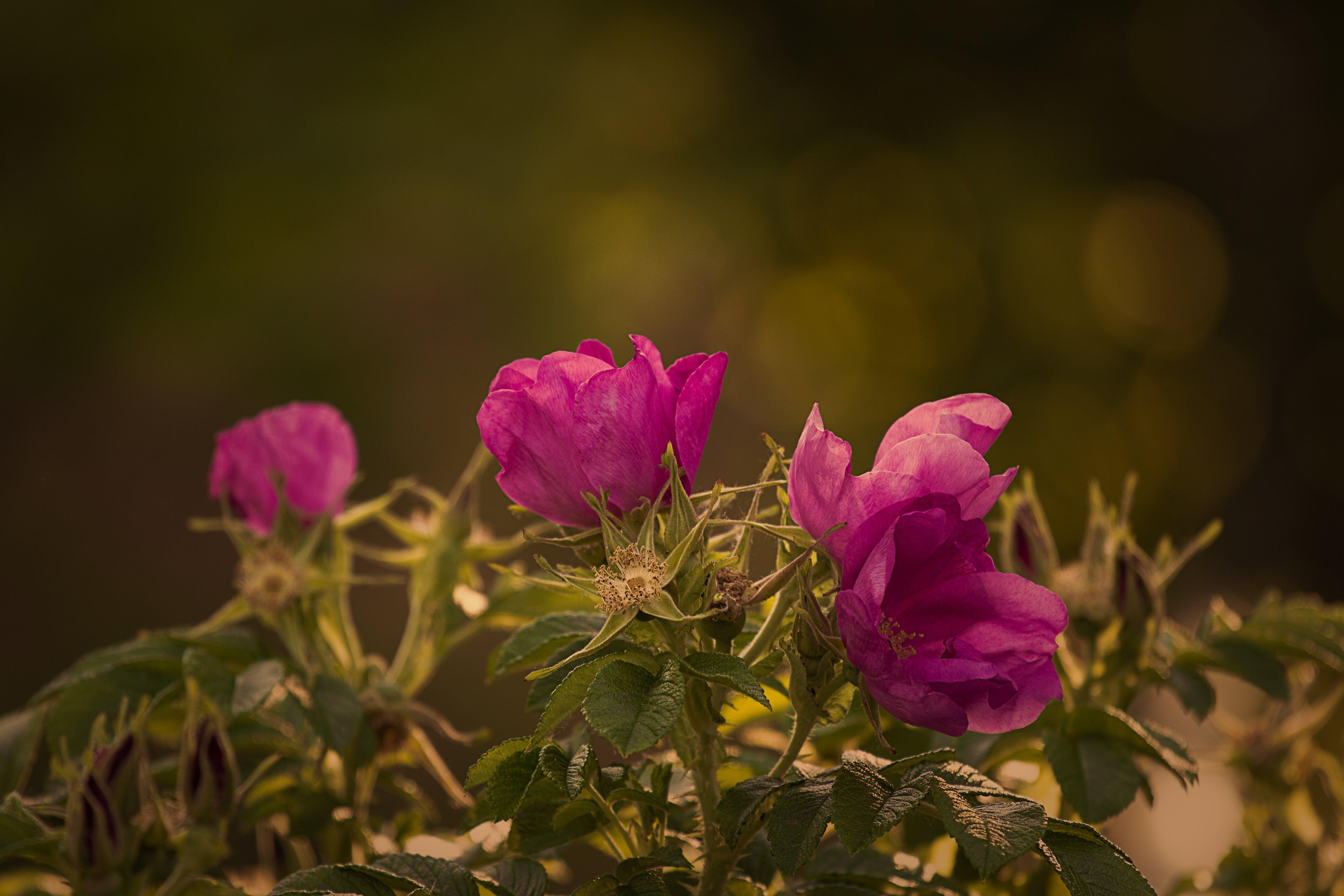bloom, blossom, rosebush