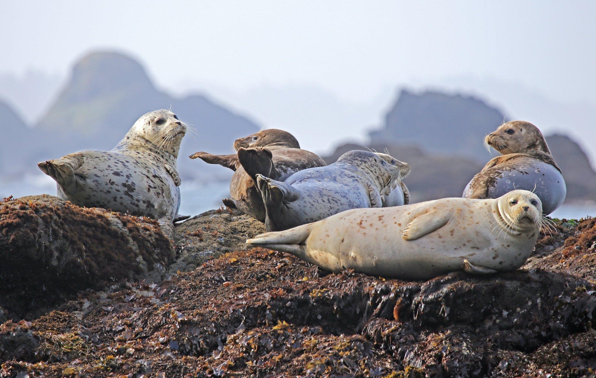 Common Seal on Shore