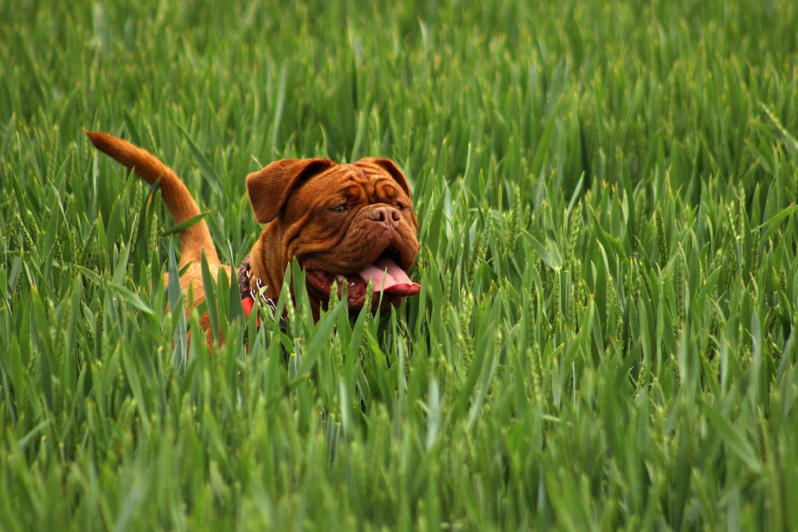 Brown Short Haired Dog on Green Ground Cover Plants during Daytime