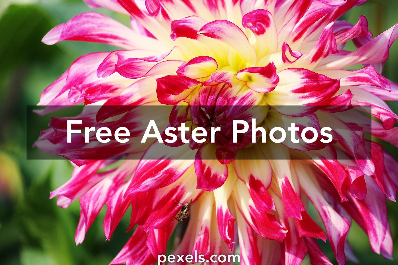 Great Aster Photos · Pexels · Free Stock Photos