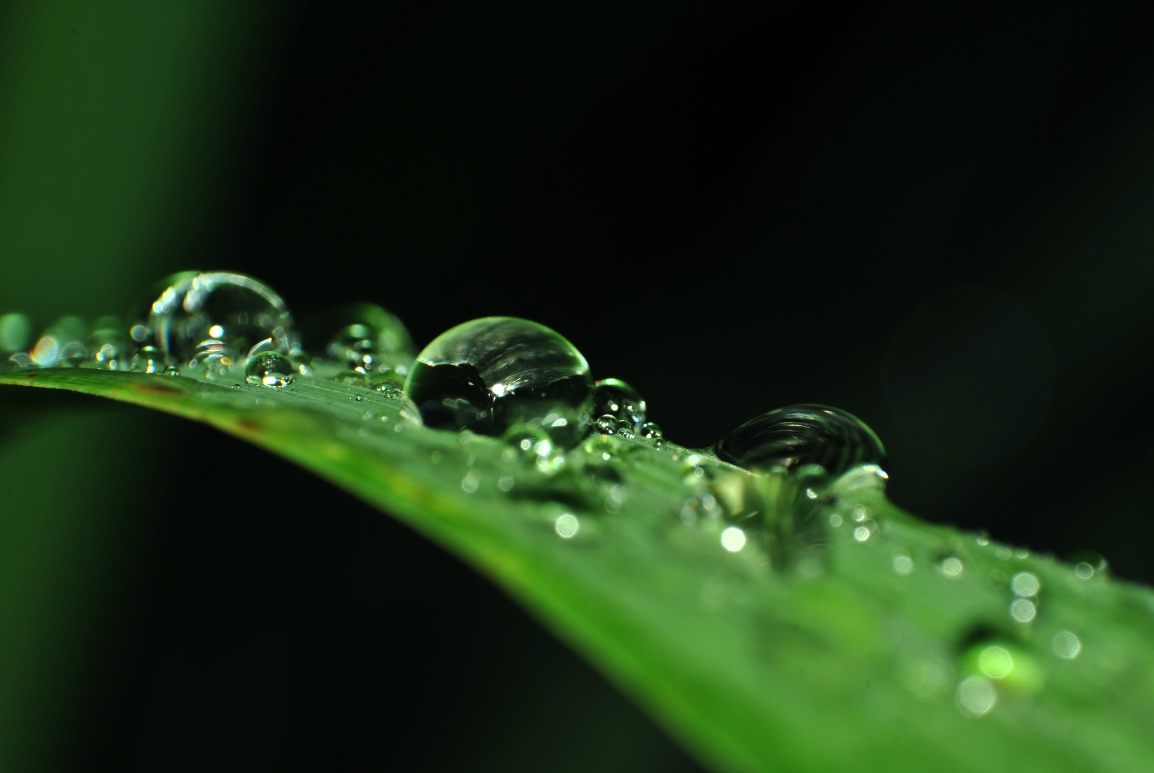 Macro Photography of Droplets of Water on Linear Leaf