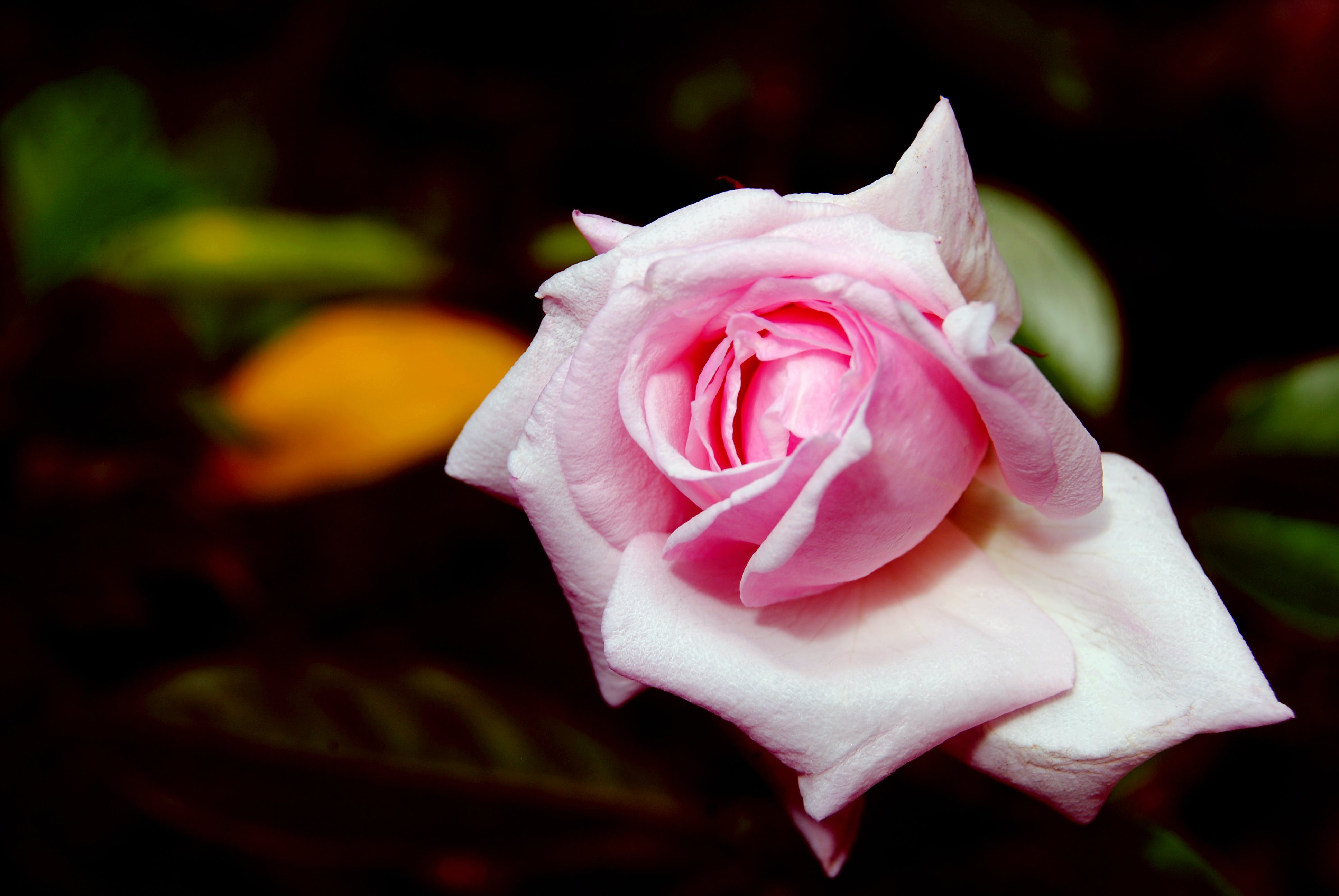Closeup Photo of Pink Rose Flower