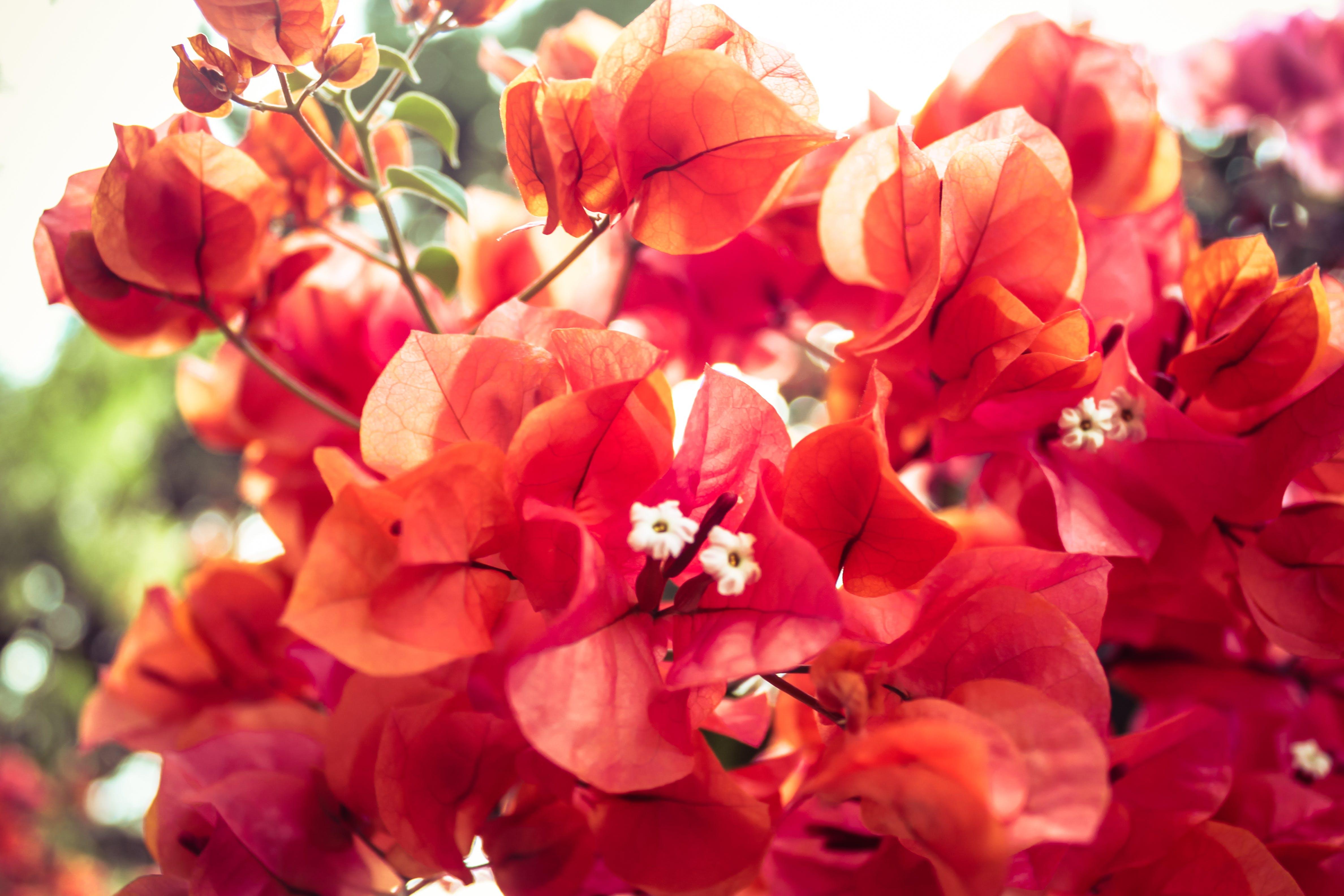 beautiful, beauty, blooming