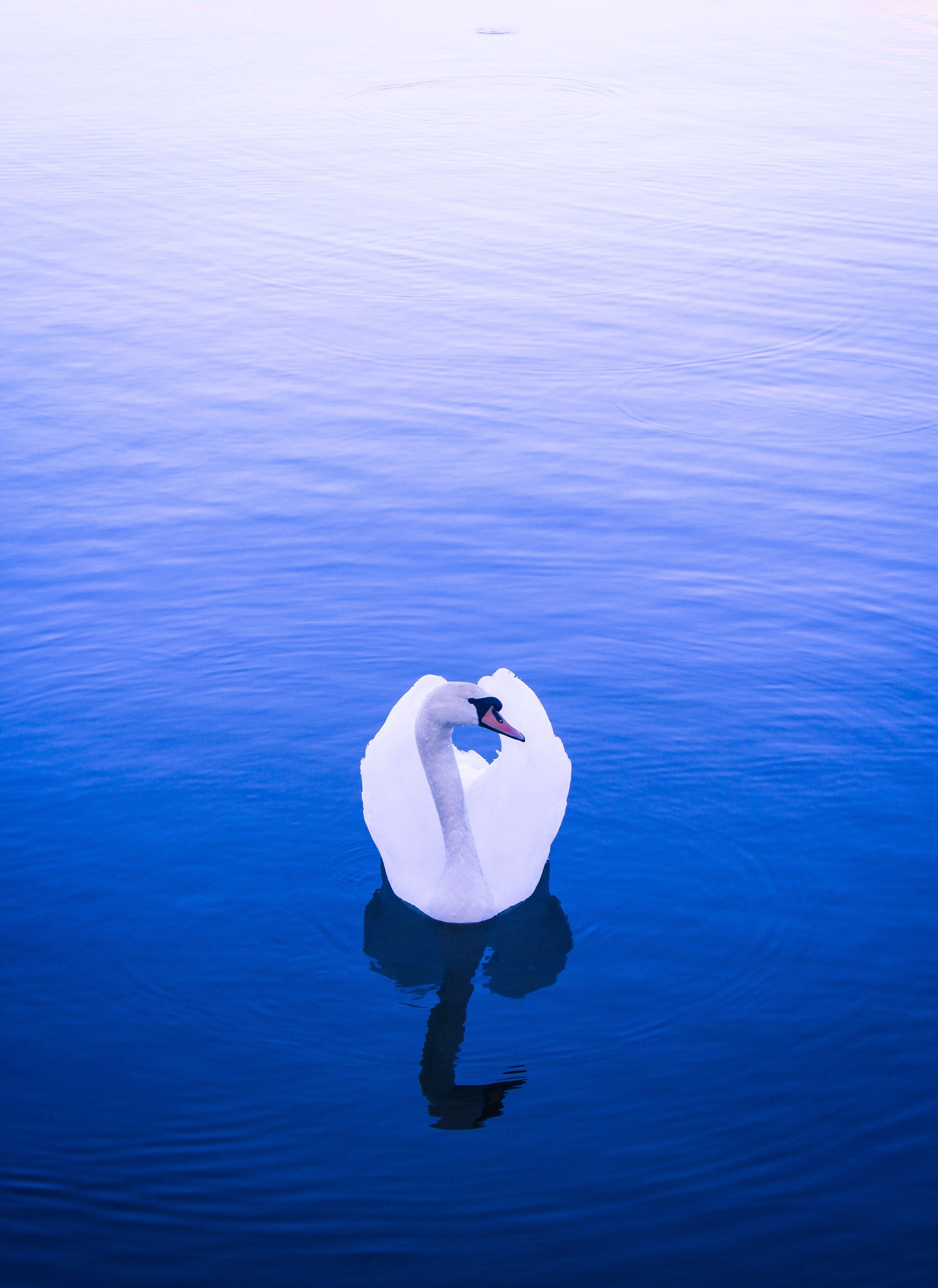 Free stock photo of animal, bird, blue, lake