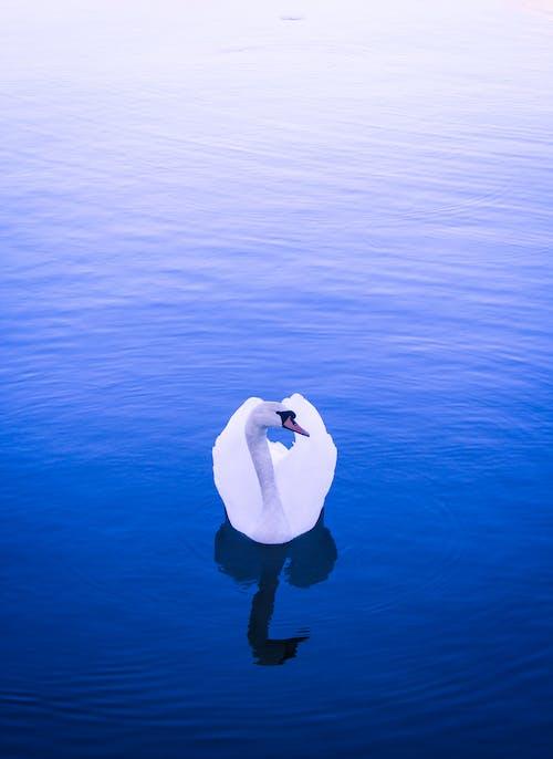 Free stock photo of animal, blue, nature, swan