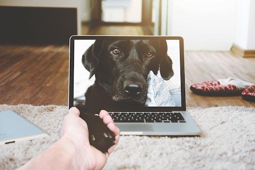 Macbook Pro Displaying Black Adult Labrador Retriever