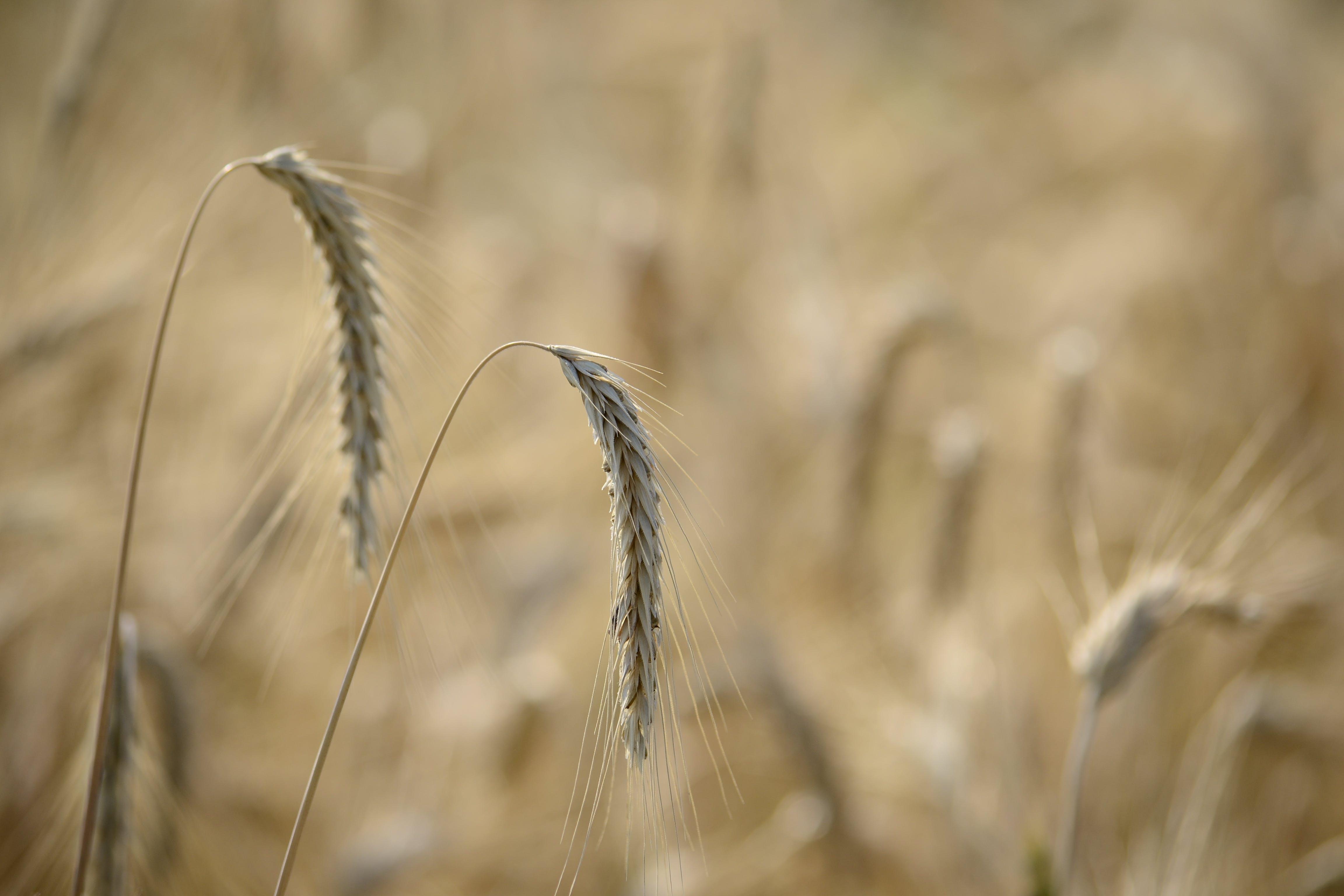 agriculture, barley, blur