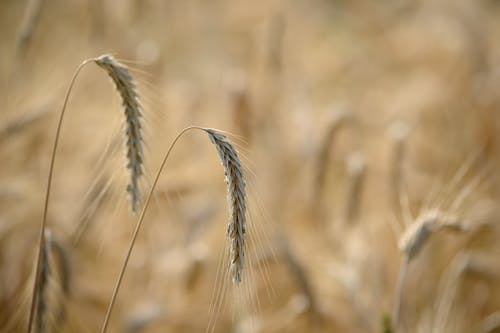 Shallow Shot of Wheat Grasses