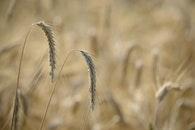 food, nature, field