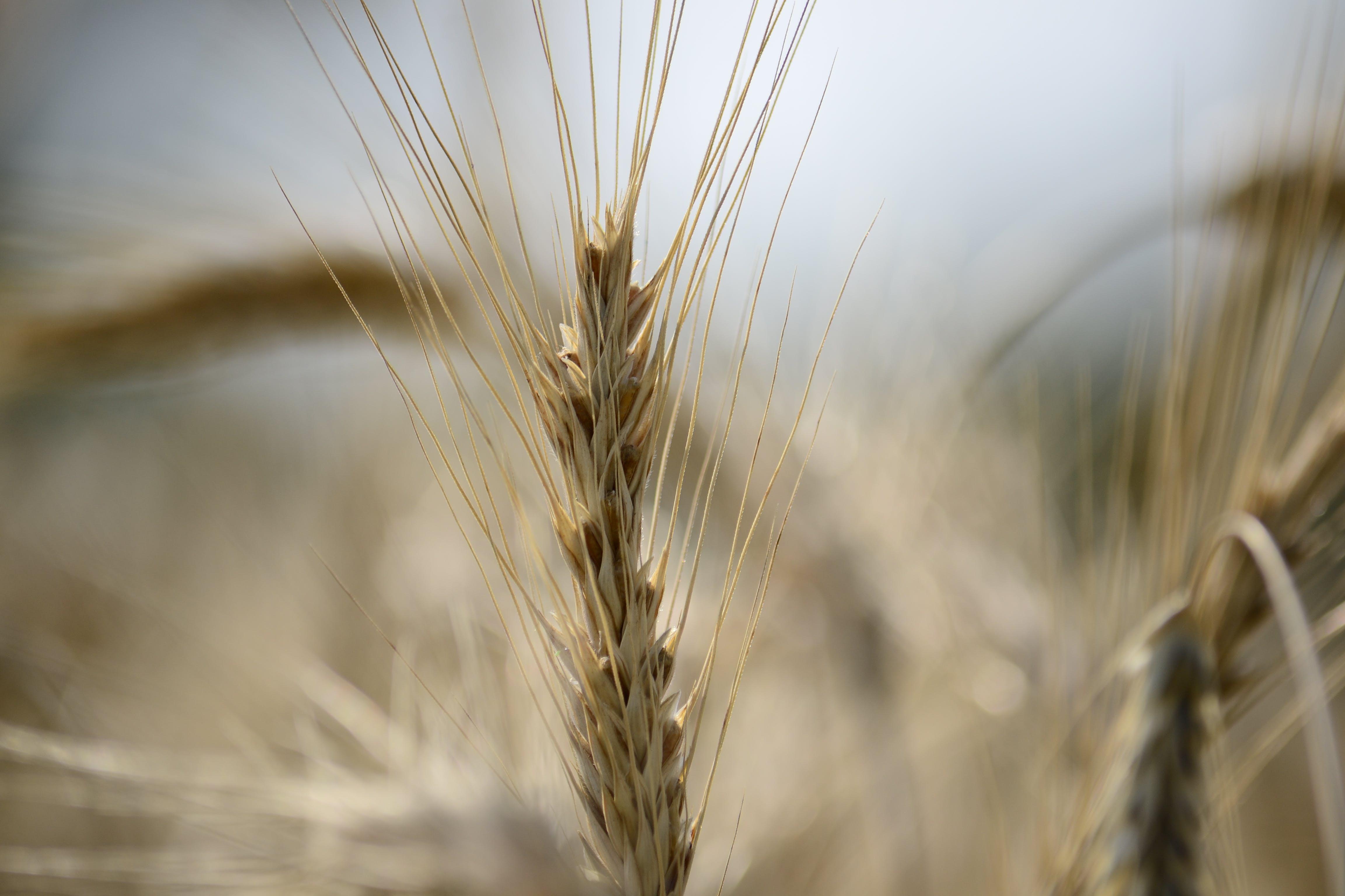 Free stock photo of nature, field, summer, wheat