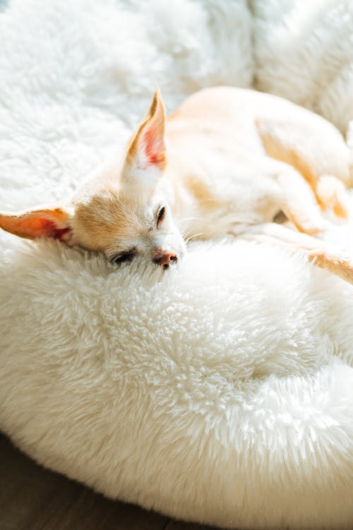 White Short Haired Chihuahua Lying on White Textile